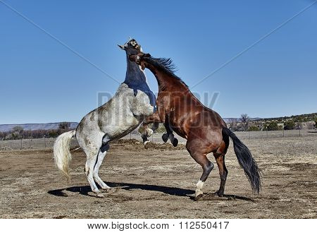 Two Horses Rearing up in a Fighting Position