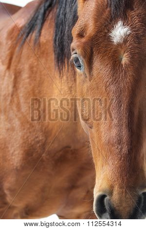 A close up portrait of a bay horse face.