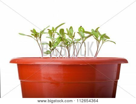 Green Tomato Seedlings Growing In Red Pot