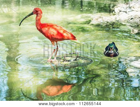 Beautiful Scarlet Ibis (eudocimus Ruber) And Wood Duck (aix Sponsa) In Water