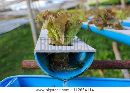 Hydroponics Method Of Growing Plants Using Mineral Nutrient Solutions In Khaokho