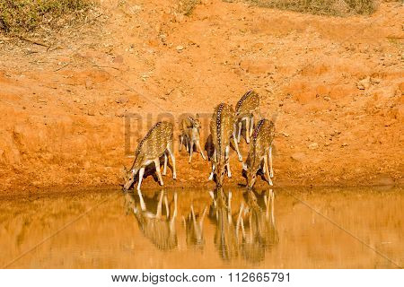 Spotted DeerSpotted Deer at water hole