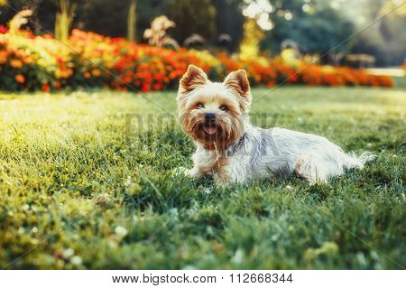 Beautiful Yorkshire Terrier Dog On The Green Grass