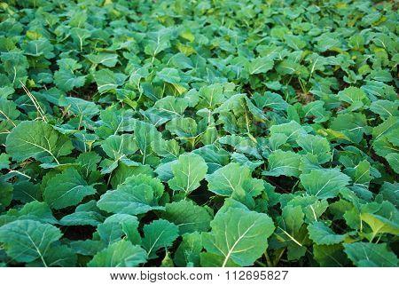 Rape Seed Winter Leaves