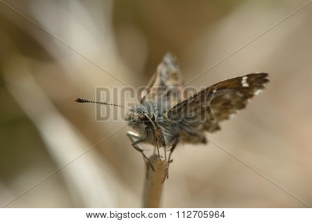 Dingy skipper butterfly (Erynnis tages) perched on end of grass stem