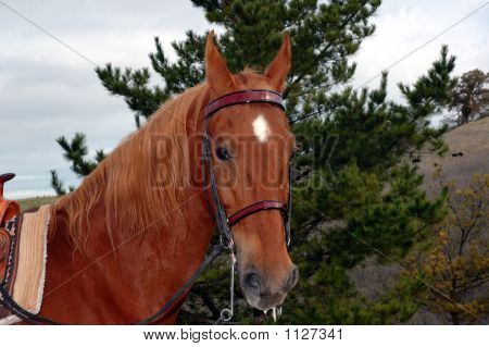 Saddlebred 1