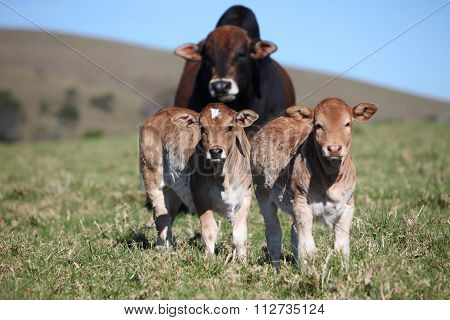 Bull And Two Calves