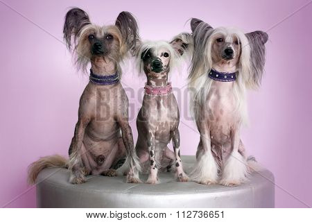 Three Chinese Crested Dogs