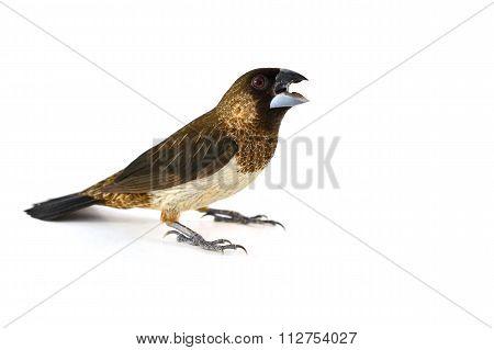 White-rumped Munia Bird