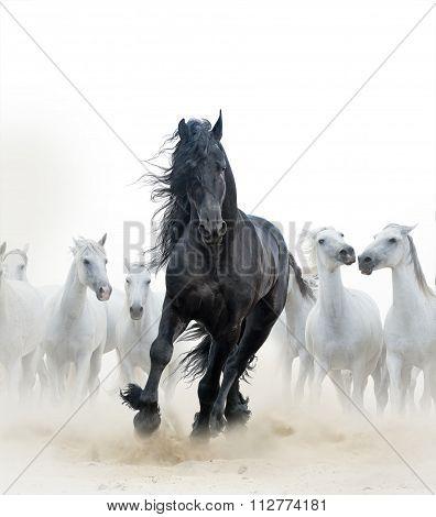 Black Stallion And White Horses