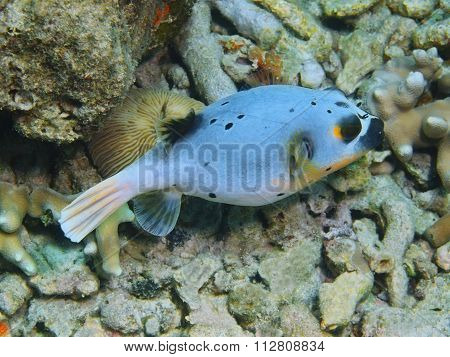 Pufferfish, Island Bali, Pemuteran