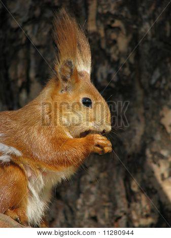 Profile of the squirrel