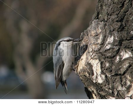 Nuthatch with seed of the sunflower