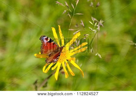 Closeup of the European Peacock Butterfly (Aglais io) perching on yellow Arnica flower on Europe Alps