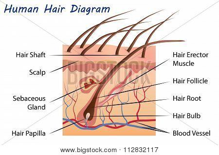 Human Hair Diagram