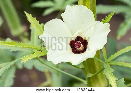 Okra Or Lady's Finger Vegetable Plant With Flower