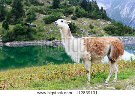 Llama standing next to the lake Traualpsee