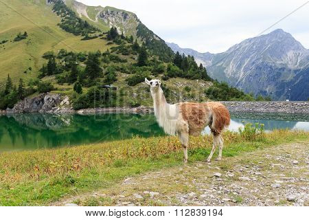 Llama at the Traualpsee with mountains in the background