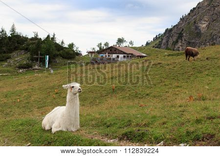 Llama and alpine hut in the background
