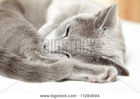 Russian blue cat sleeping indoors. Natural light and colors poster