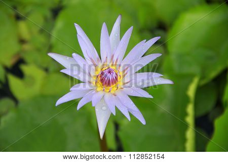 Light Violet Lotus Flower Top View In The Pool Has Some Drop Water On The Petal, Symbol Of Purity.