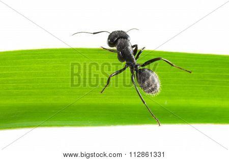 Ant Climb Over Grass Blade