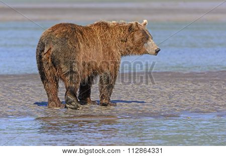 Grizzly Profile On A Mudflat