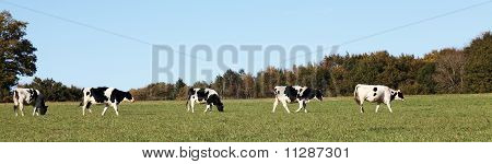 A panorama banner of a line of black and white Holstein Friesian dairy cows walking across a pasture. poster