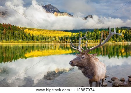 Jasper National Park in the Rocky Mountains of Canada. Proud deer antlered stands on the banks of the pretty lake. The lake reflects multi-colored autumn woods and mountains