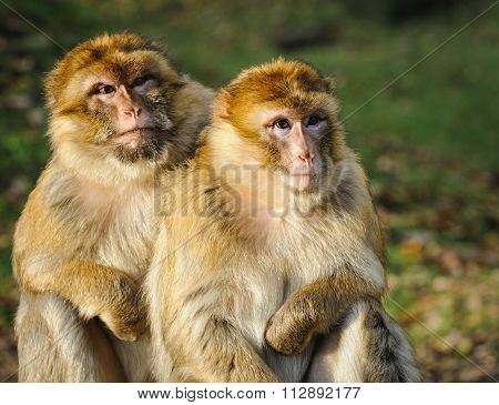Portrait Of Adult Female And Adult Male Barbary Macaque, Germany