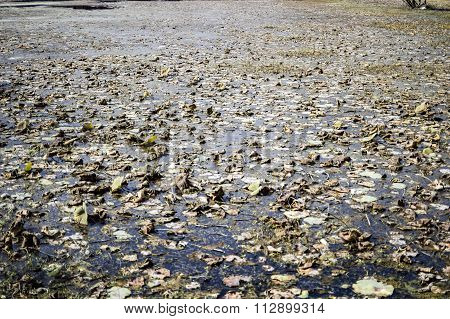 Withered And Drying Lotus Plants