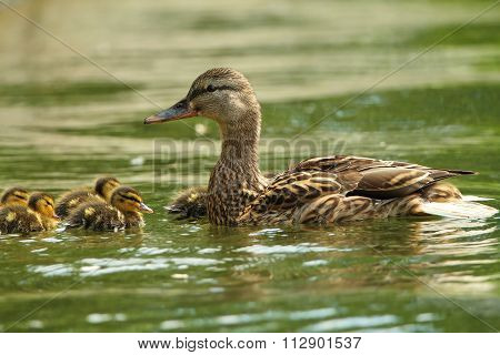 Female Mallard Duck With Ducklings On Lake