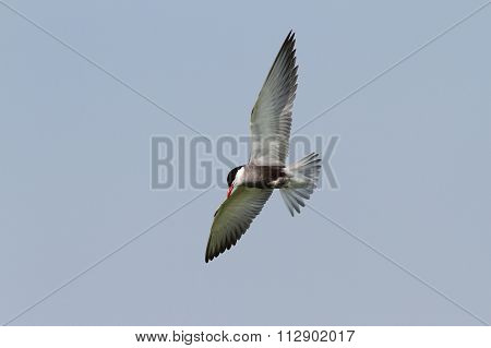 whiskered tern in flight with spread wings ( Clidonias hybridus ) poster