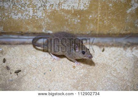 Brown Rat In Mortar Tubs