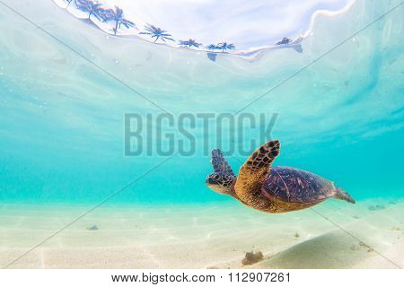 Endangered Hawaiian Green Sea Turtle cruising in the warm waters of the Pacific Ocean in Hawaii poster