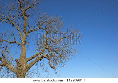 Leafless Ash Tree On Blue Background