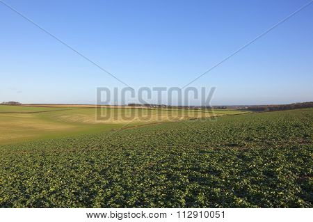 Canola In Winter