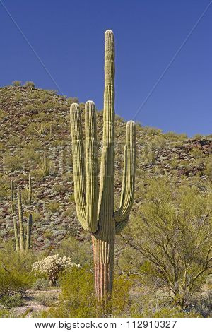 Saguaro Cactus In The Desert Mountains