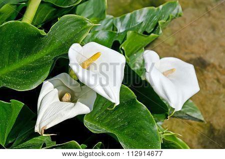White Calla Lilies In A Pond