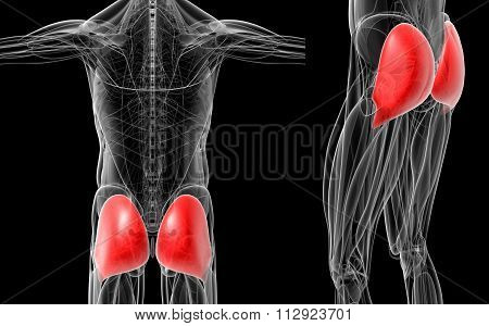 Medical  Illustration Of The Gluteus Maximus