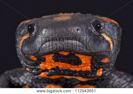 Laos warty newt (Laotriton laoensis)