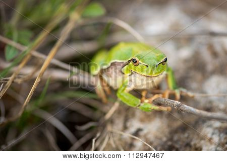 Footed Tree Frog - Hyla Arborea