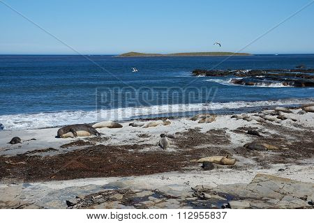 Elephant Seals on a Beach