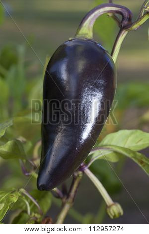 Purple Jalepeno Pepper