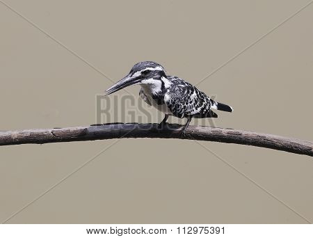 Pied Kingfisher perching over the pond in THAILAND. (Ceryle rudis)