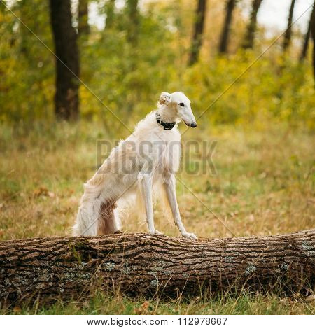 Dog Russian Borzoi Outdoor in Forest