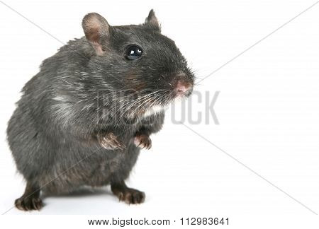 Cute Black Rodent Isolated On White Background