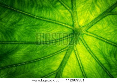 Green leaf  close-up view for wallpaper and background