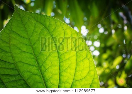 green leaf background nature blur background.Close up view .