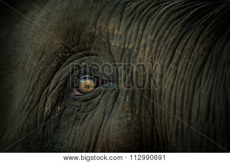 Eyes Of Asian Elephant Species.